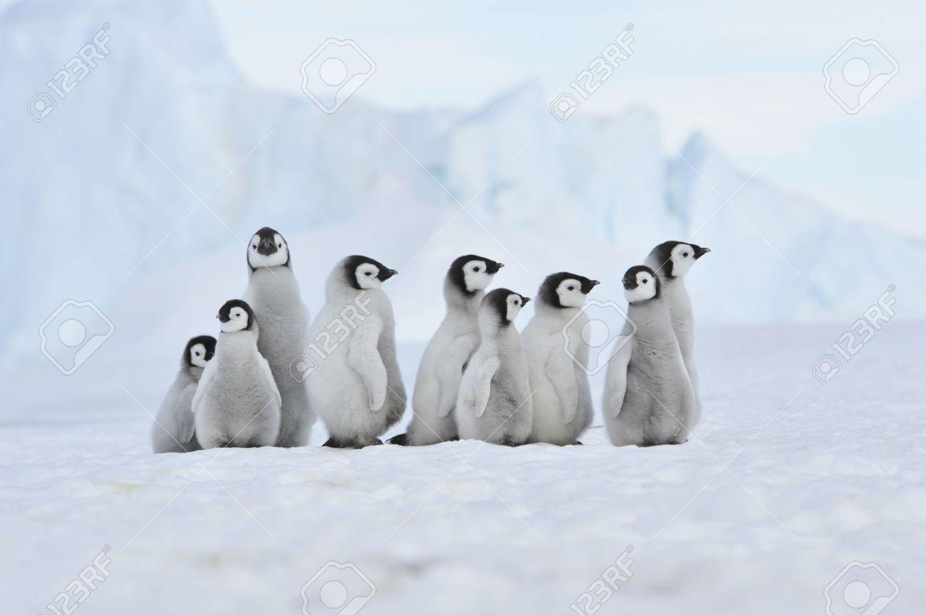 Emperor Penguin Chicks Snow Hill, Antarctica 2010 On The ...