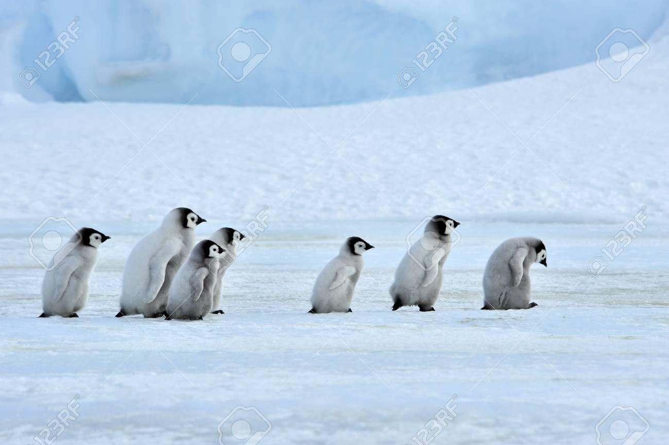Emperor Penguin chicks Snow Hill, Antarctica 2010 on the icebreaker Kapitan Khlebnikov - 15527962