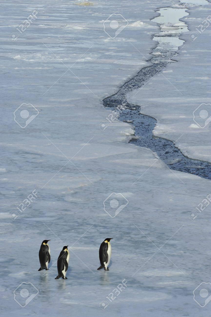 Emperor Penguins Snow Hill, Antarctica 2010 on the icebreaker Kapitan Khlebnikov - 15395572