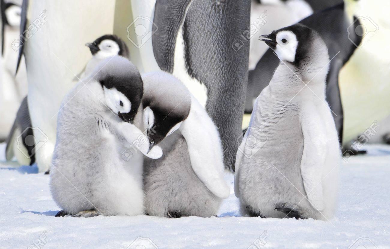 Emperor Penguin chicks Snow Hill, Antarctica 2010 on the icebreaker Kapitan Khlebnikov - 15528077