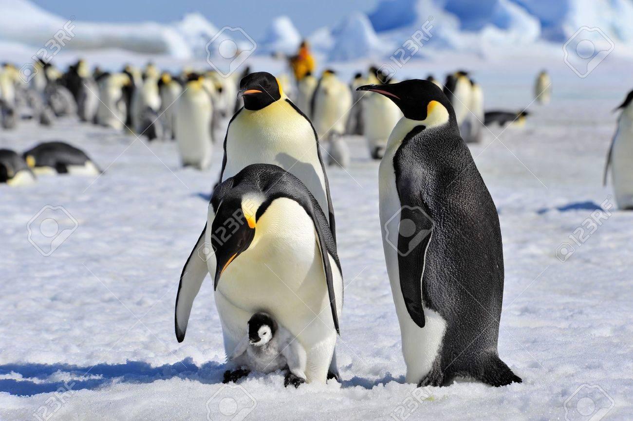 Emperor Penguins with chick Snow Hill, Antarctica 2010 on the icebreaker Kapitan Khlebnikov - 15395478