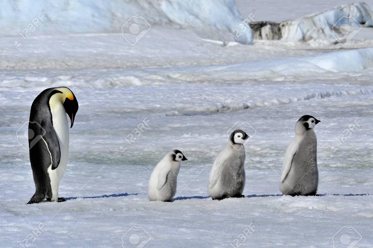 Emperor Penguin with chicks Snow Hill, Antarctica 2010 on the icebreaker Kapitan Khlebnikov - 15527969