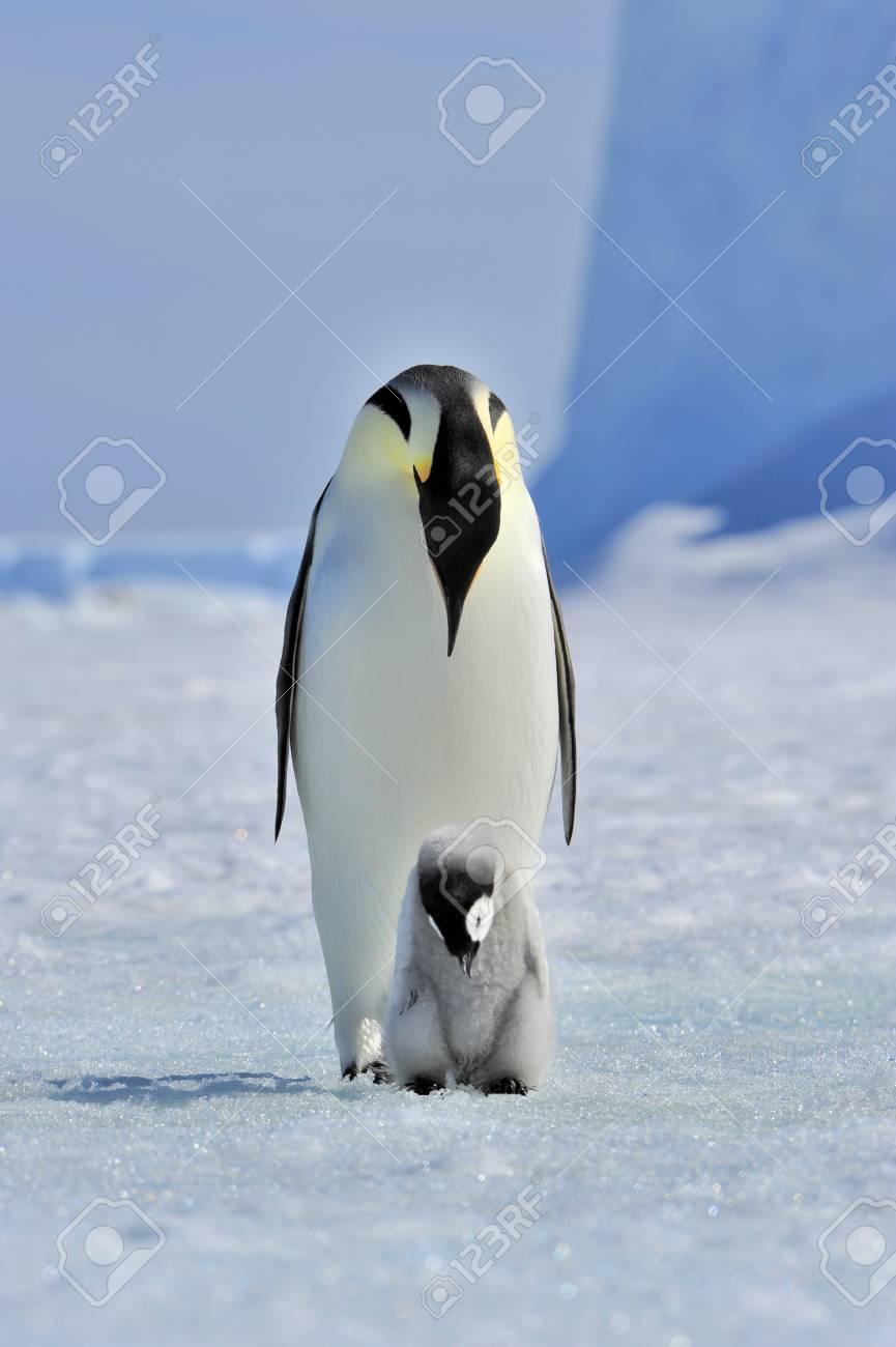 Emperor Penguin with chick Snow Hill, Antarctica 2010 on the icebreaker Kapitan Khlebnikov - 15528153