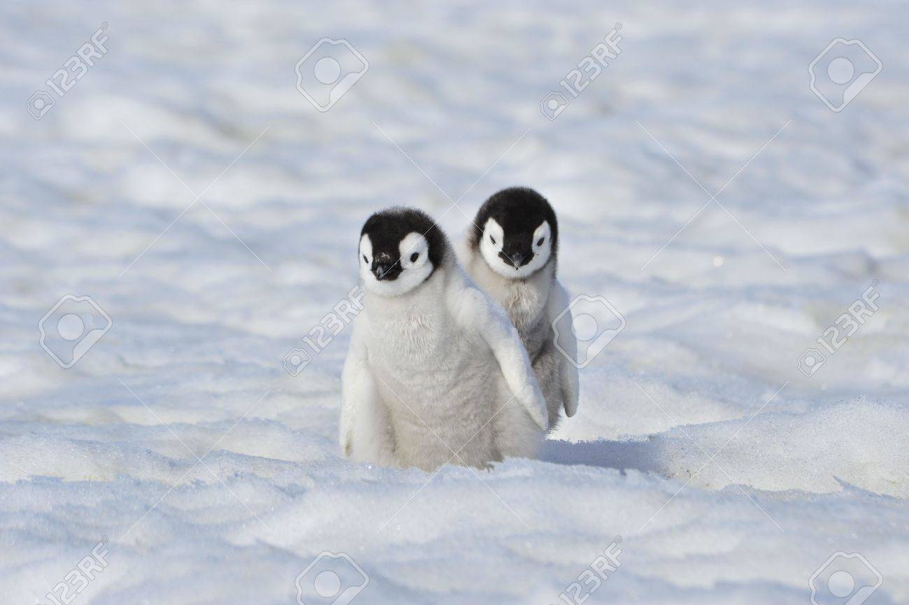 Emperor Penguin chiks Snow Hill, Antarctica 2010 on the icebreaker Kapitan Khlebnikov - 15527718