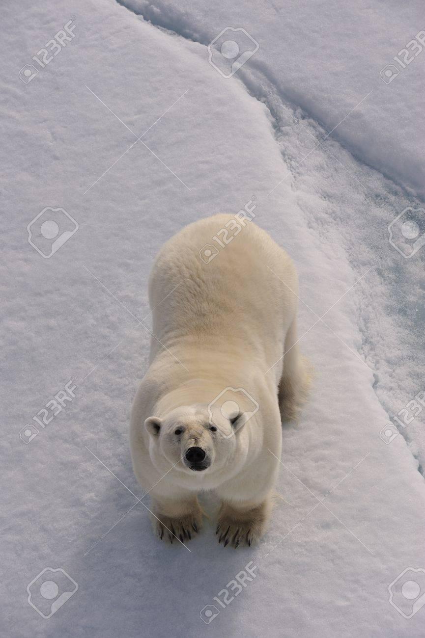 Polar Bear on the ice Svalbard 2012 - 15395479