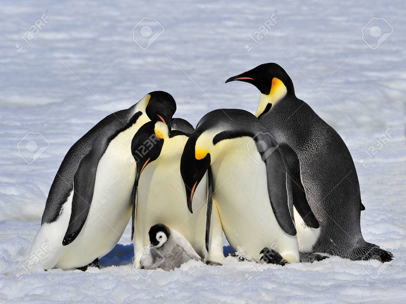 Emperor Penguins with chick fight for adopting - 56089627