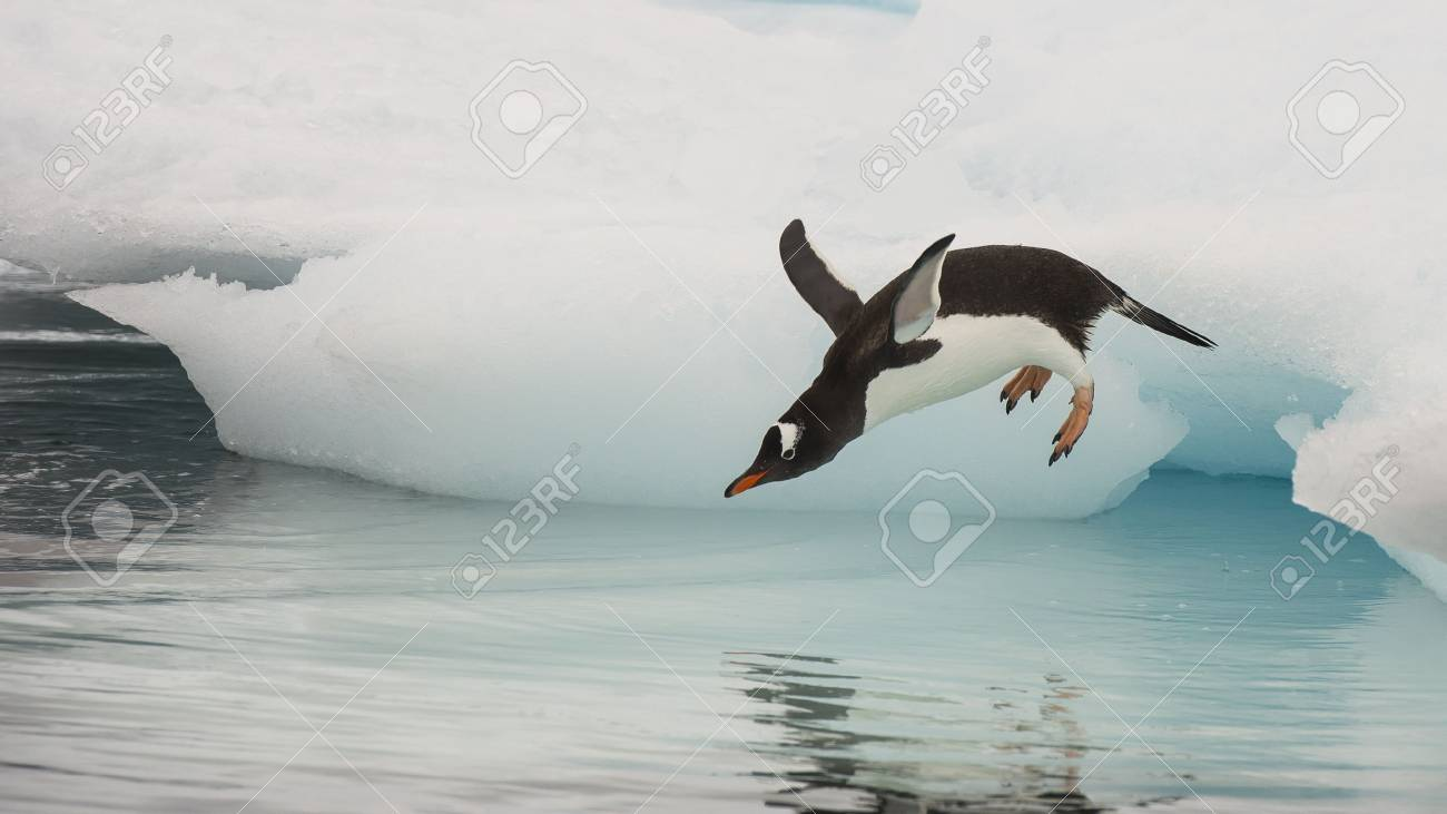 Gentoo Penguin jumping in the water from iceberg in Antarctica - 56089632