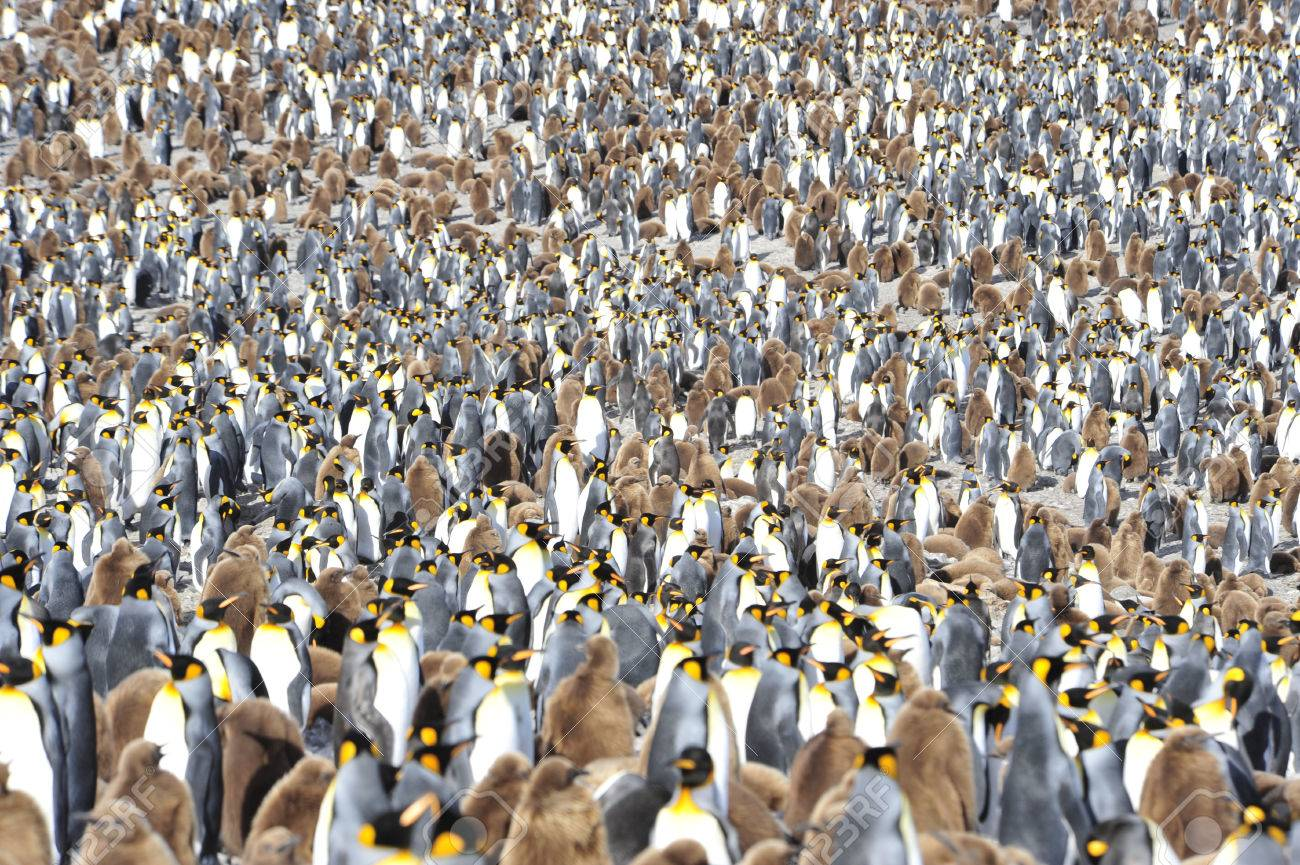 King Penguin colony in South Georgia - 56089718