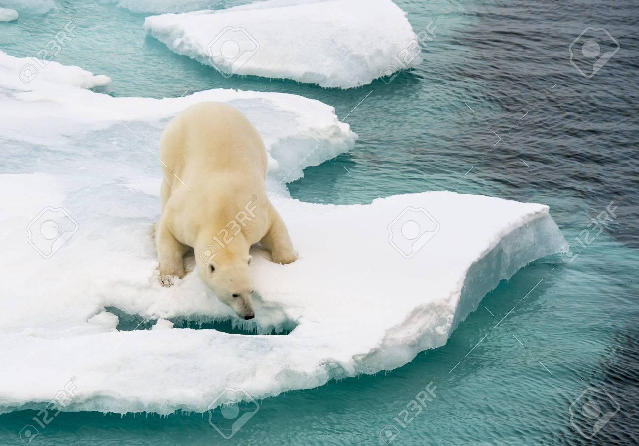 Polar bear walking on sea ice in the Arctic - 64966061