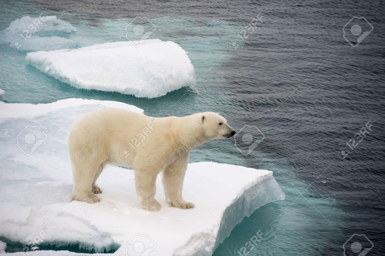 Polar bear walking on sea ice in the Arctic - 64966066