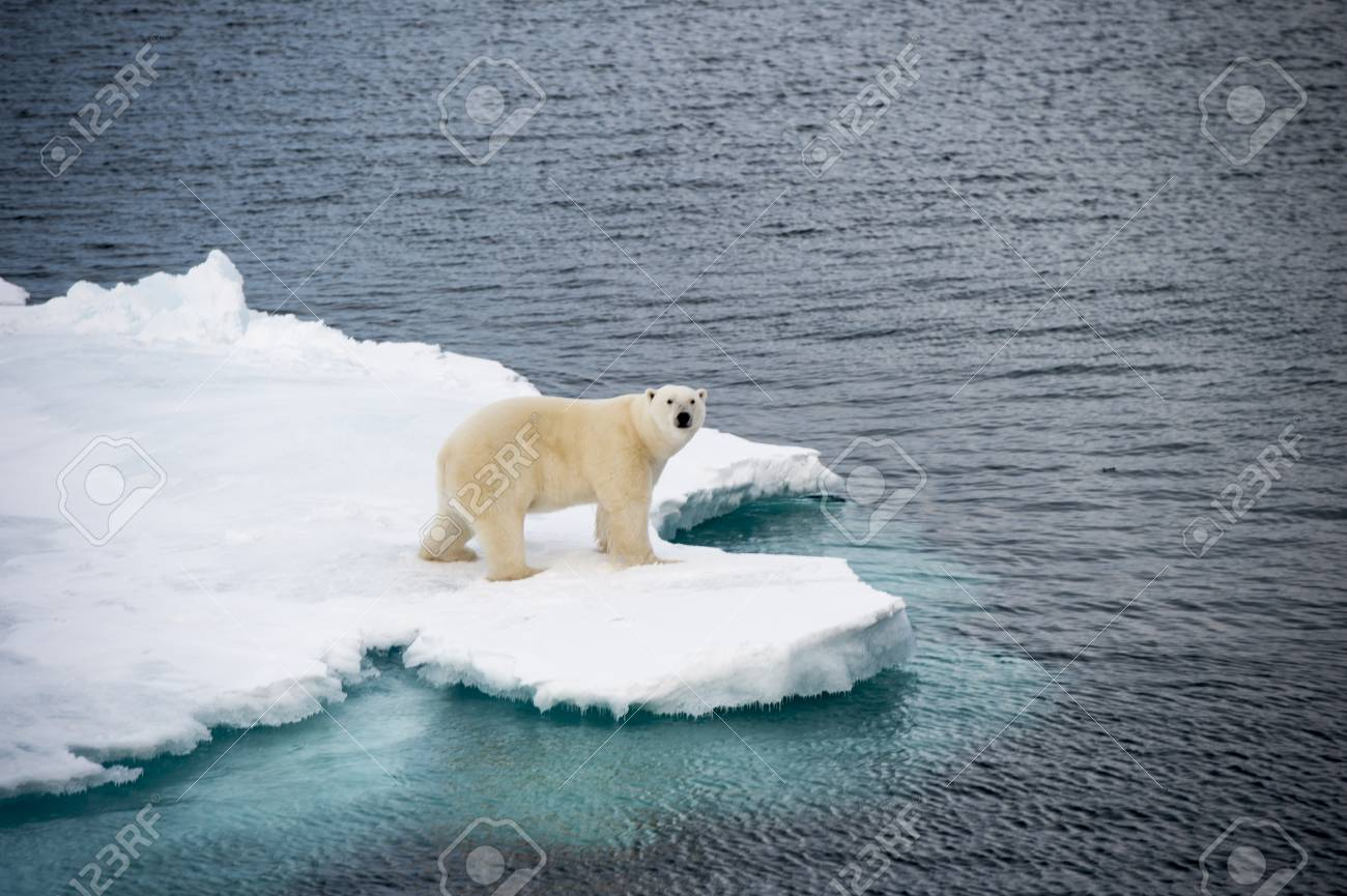 Polar bear walking on sea ice in the Arctic - 64966067
