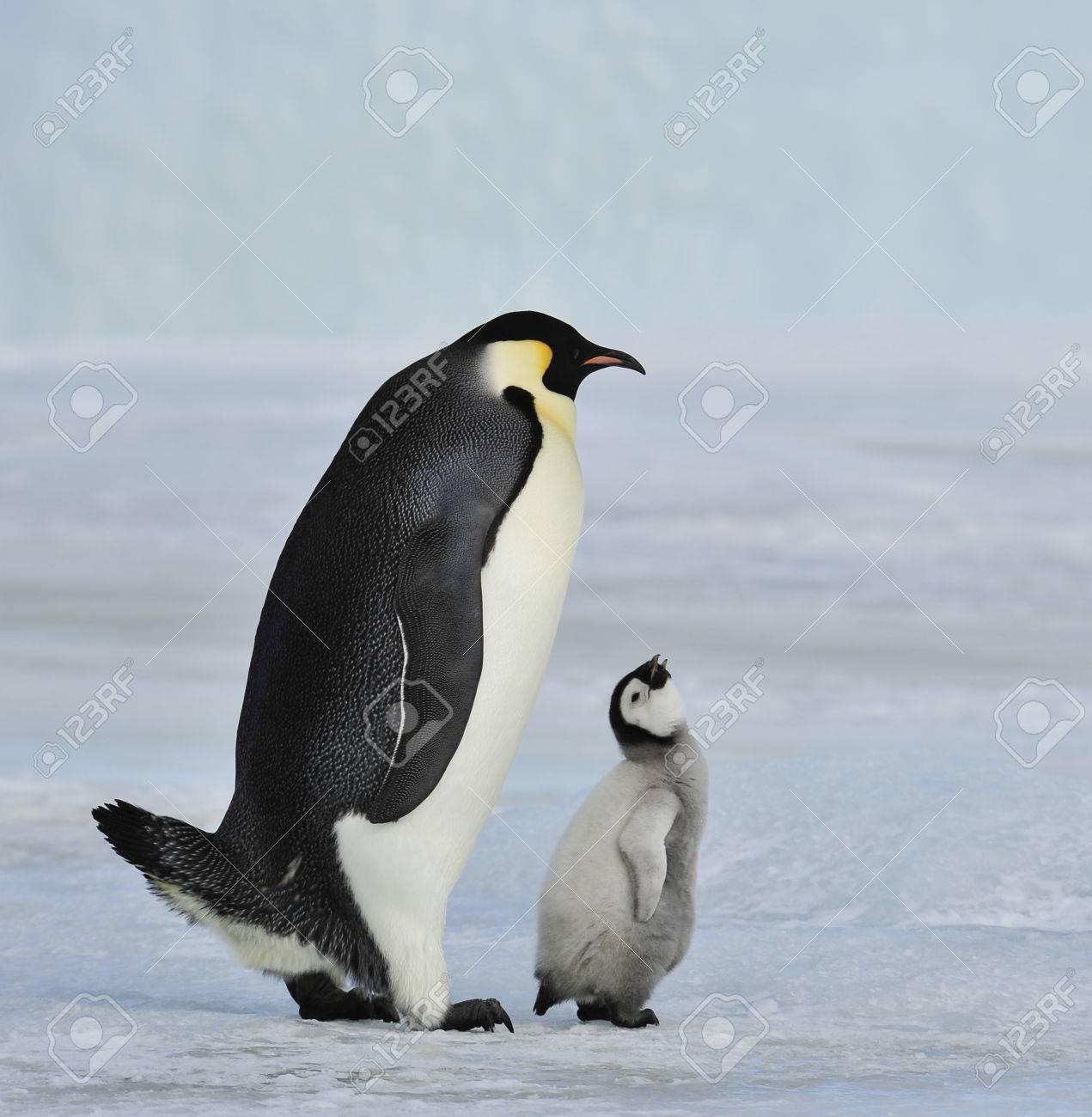 ひよこと皇帝ペンギン ロイヤリ...
