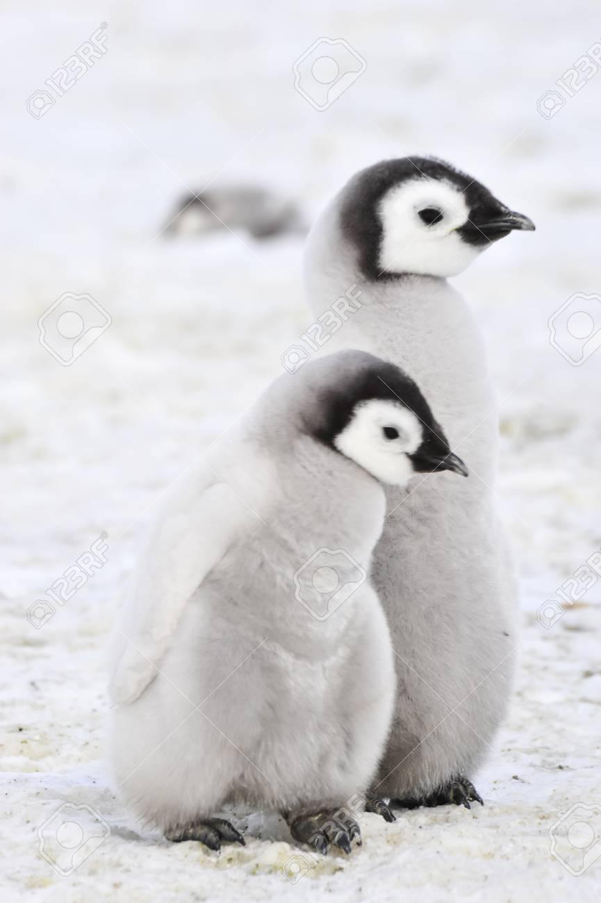 Emperor Penguin chicks in Antarctica - 75610768