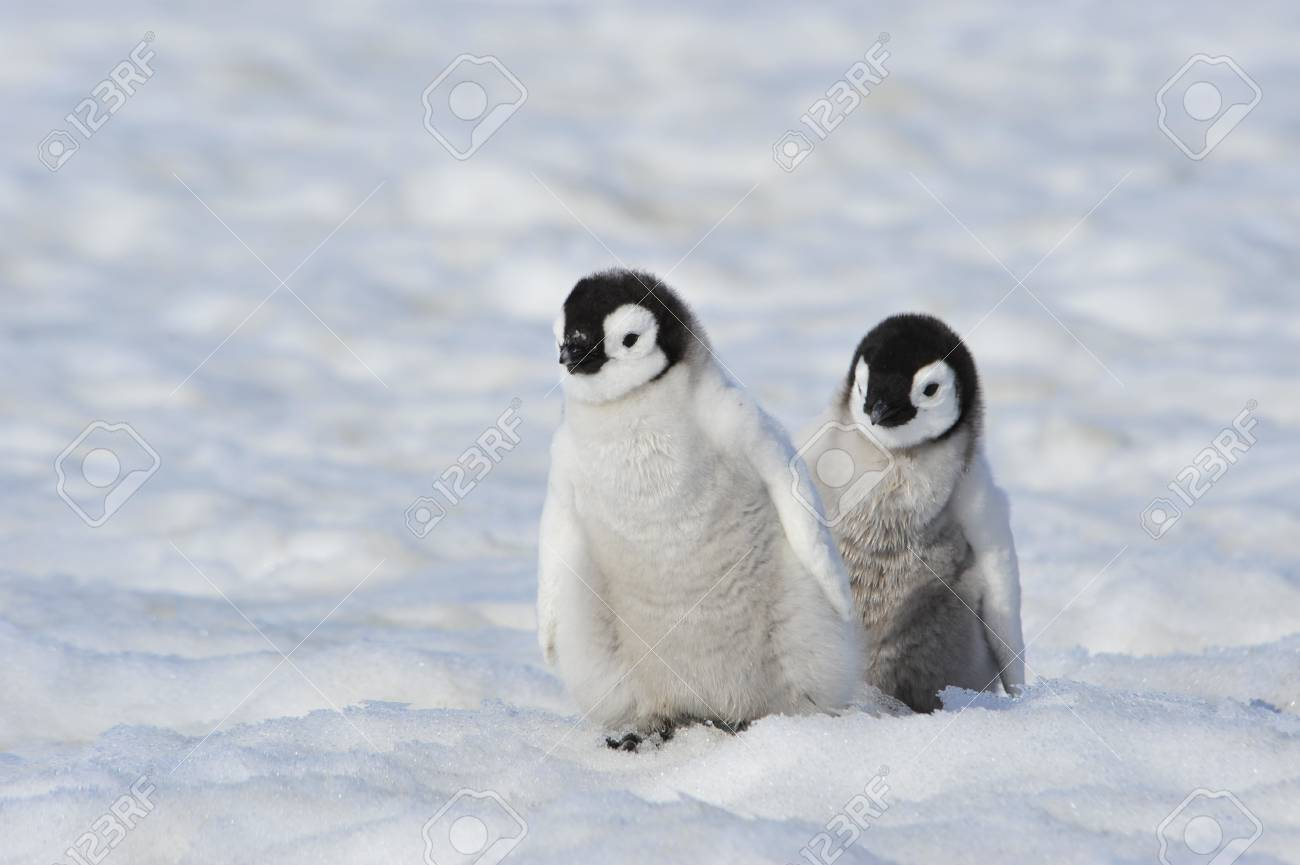 南極の皇帝ペンギンの雛 ロイヤ...
