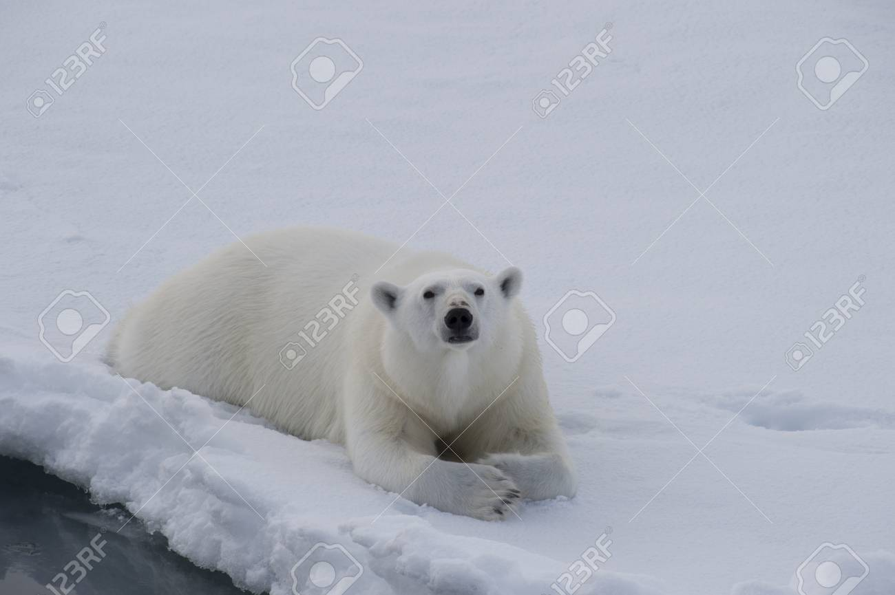 Polar bear lies on the ice in arctic landscape sniffing around. - 85247581
