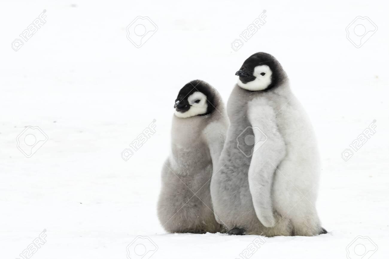 Two Emperor Penguin chicks at Snow Hill Antarctica 2018 - 121117713