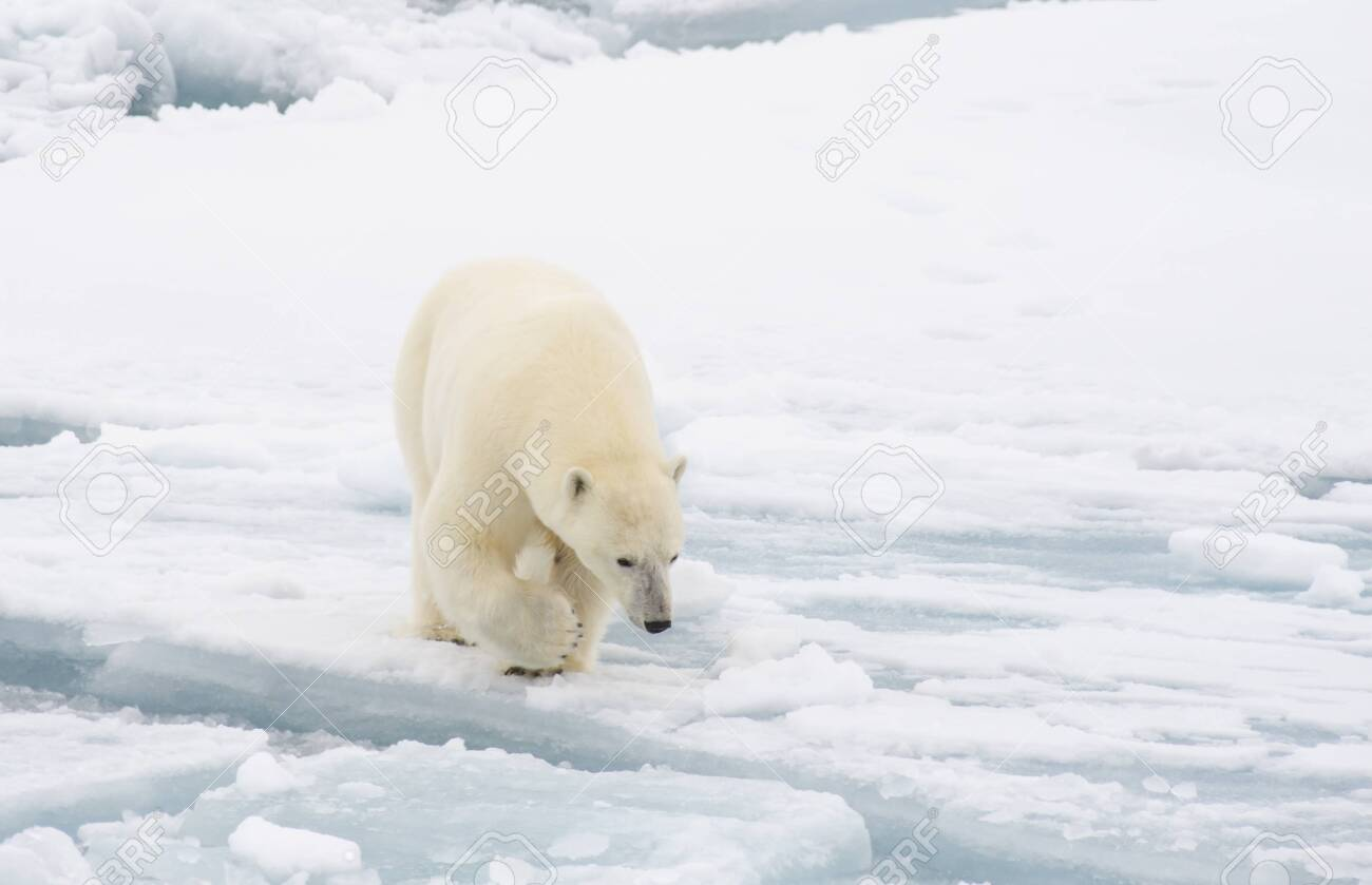 Polar bear walking on the ice in arctic landscape sniffing around. - 121117897