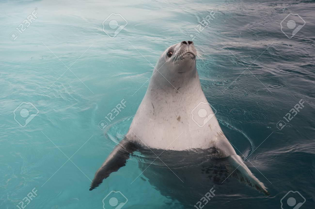 Crabeater Seal in the swiming water in Antarctica - 121117910