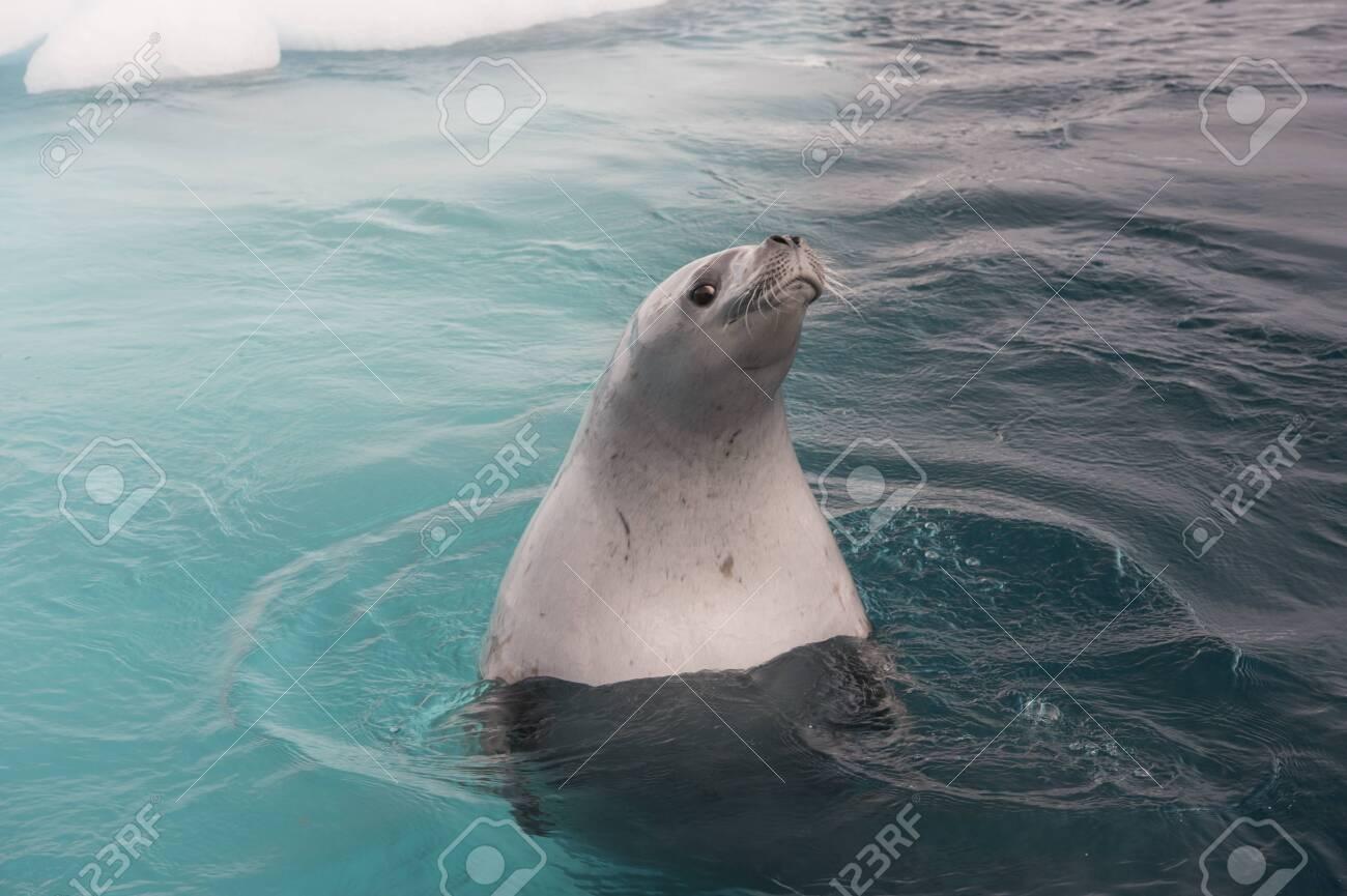 Crabeater Seal in the swiming water in Antarctica - 121117911