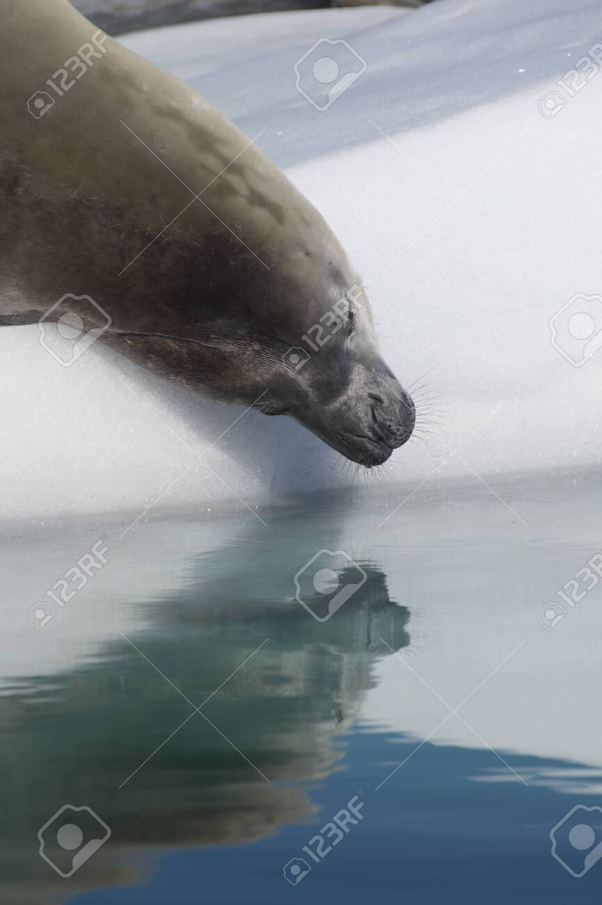 Crabeater Seal on the ice with reflaction in Antarctica - 121117919