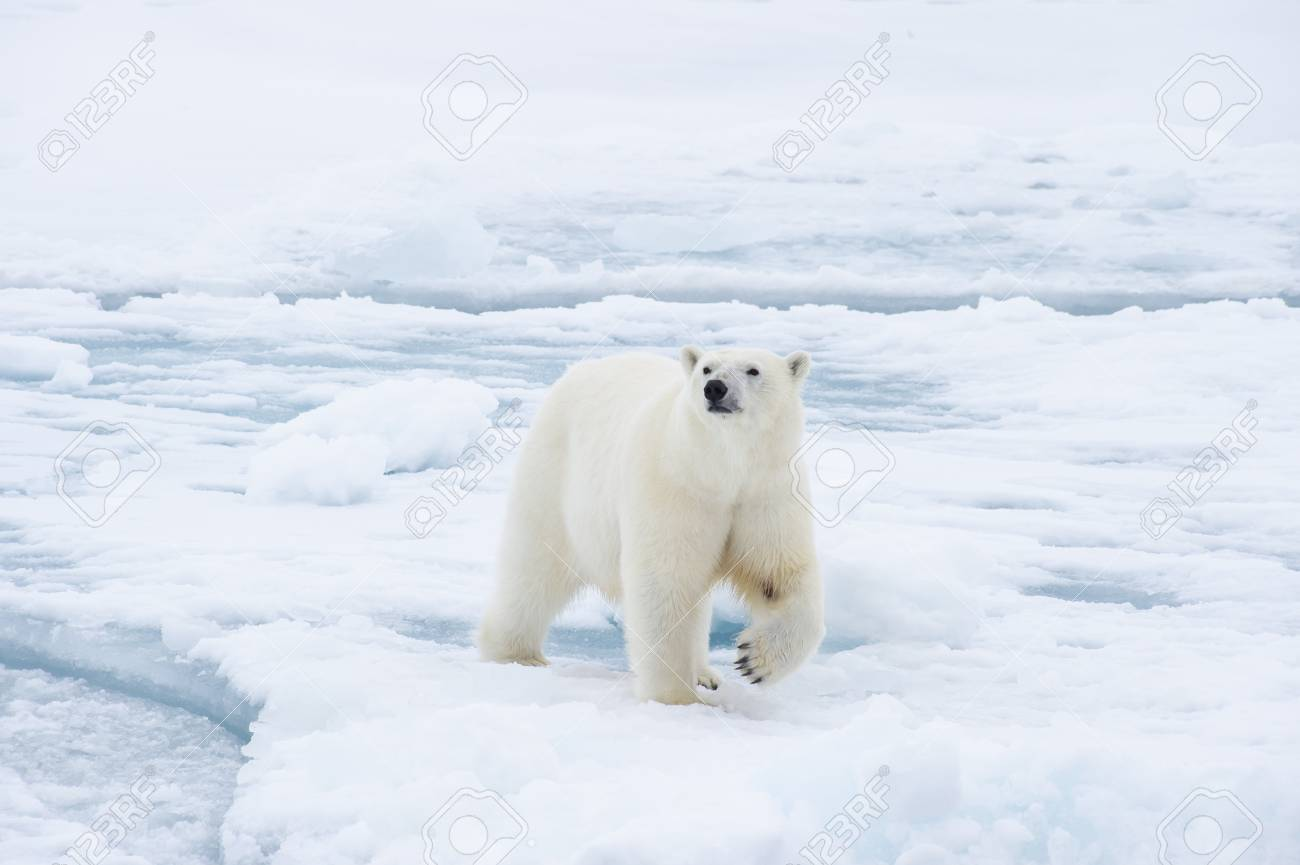 Polar bear walking on the ice in arctic landscape sniffing around. - 121117948