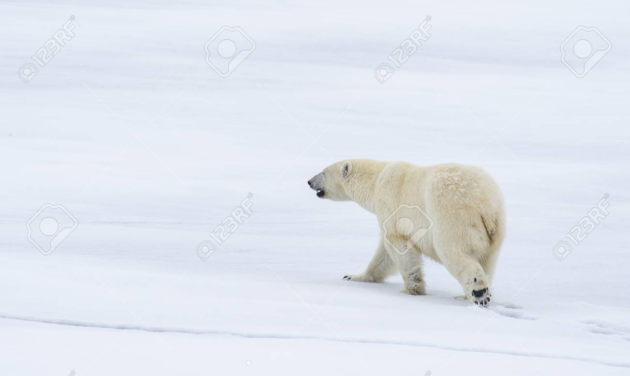 Polar bear walking on the ice in arctic landscape sniffing around. - 121117951