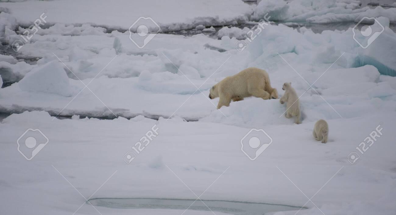 Polar bear walking on sea ice in the Arctic - 121117953