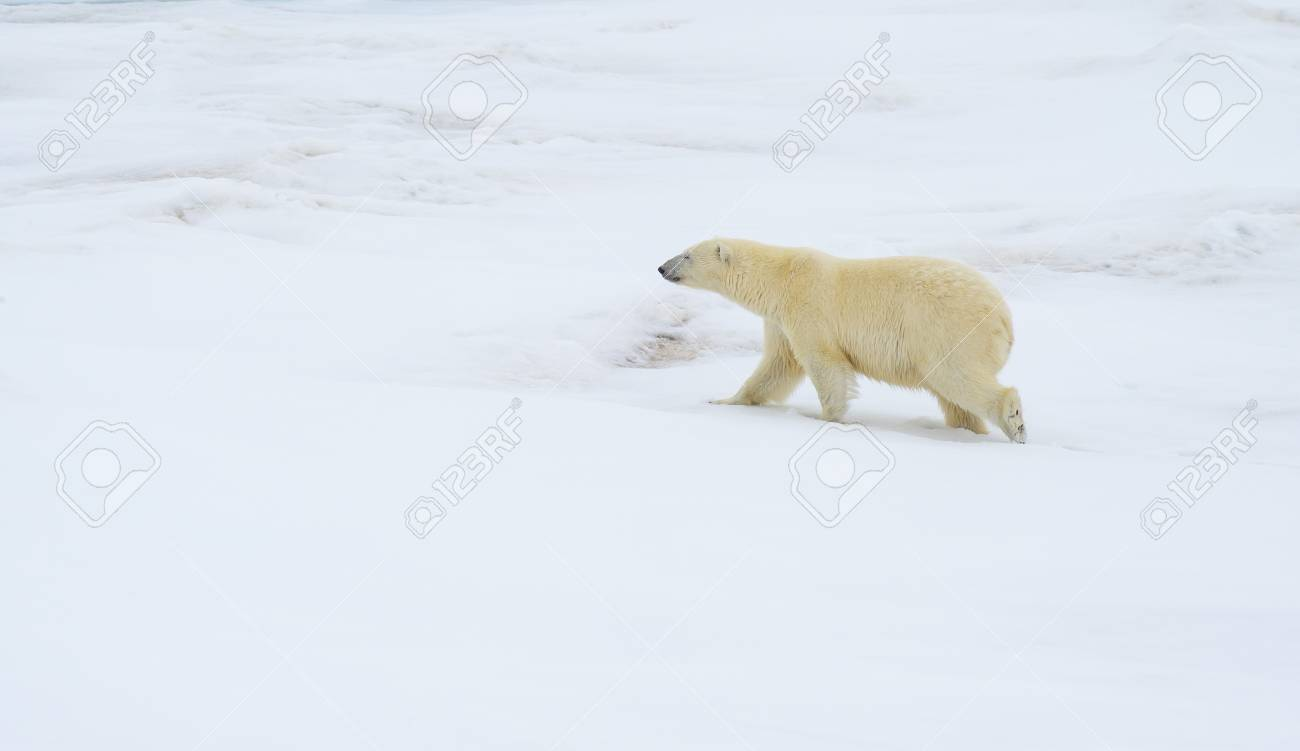 Polar bear walking on the ice in arctic landscape sniffing around. - 121117962