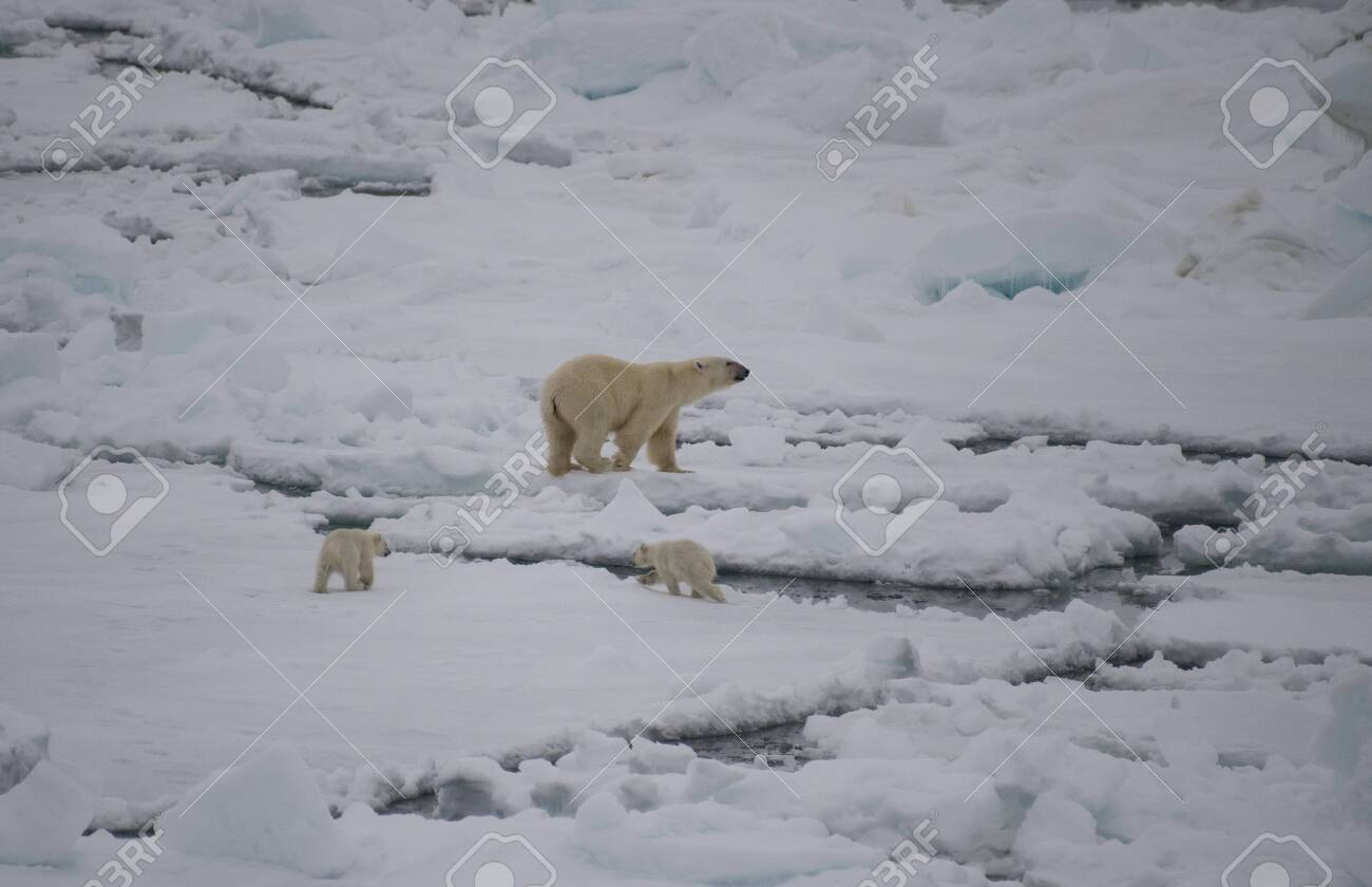 Polar bear walking on sea ice in the Arctic - 121117964