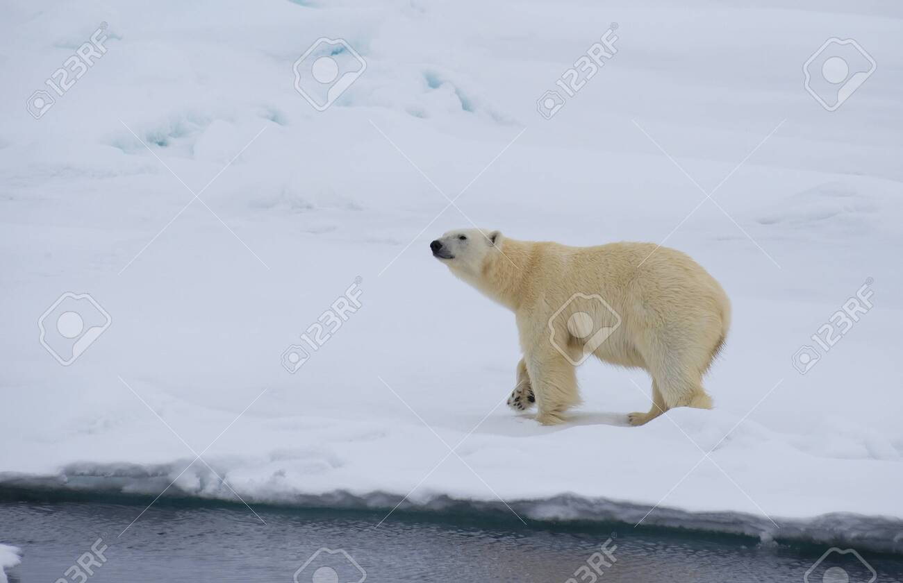 Polar bear walking on the ice in arctic landscape sniffing around. - 121117972
