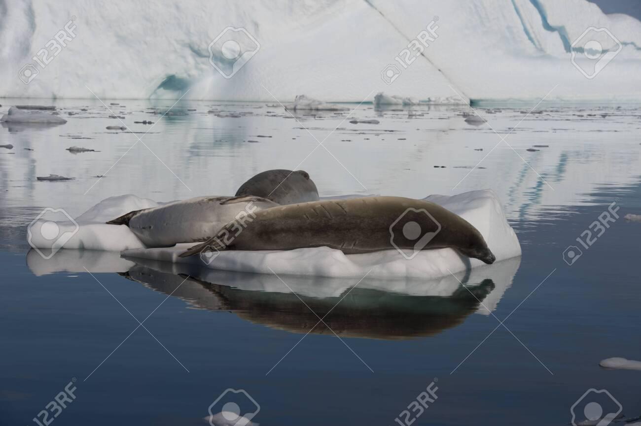 Crabeater Seal in the swiming water in Antarctica - 121117973