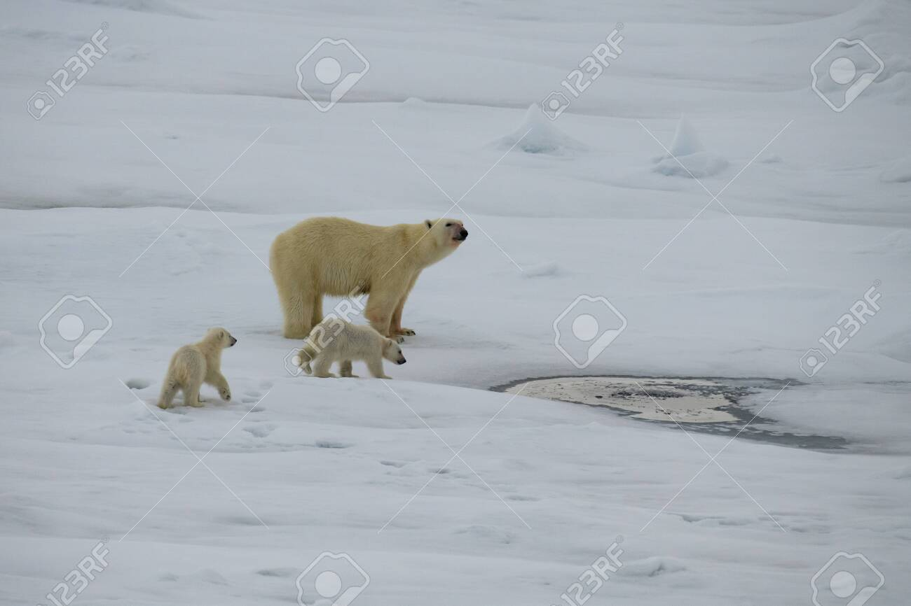 Polar bear with two cubs walking in an arctic landscape. - 121117975