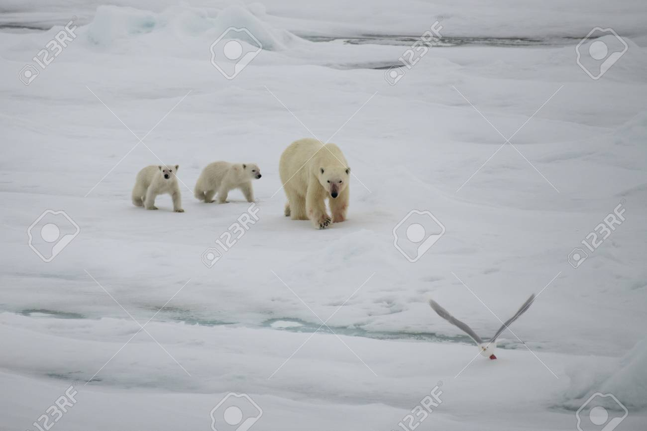 Polar bear with two cubs walking in an arctic landscape. - 121117991