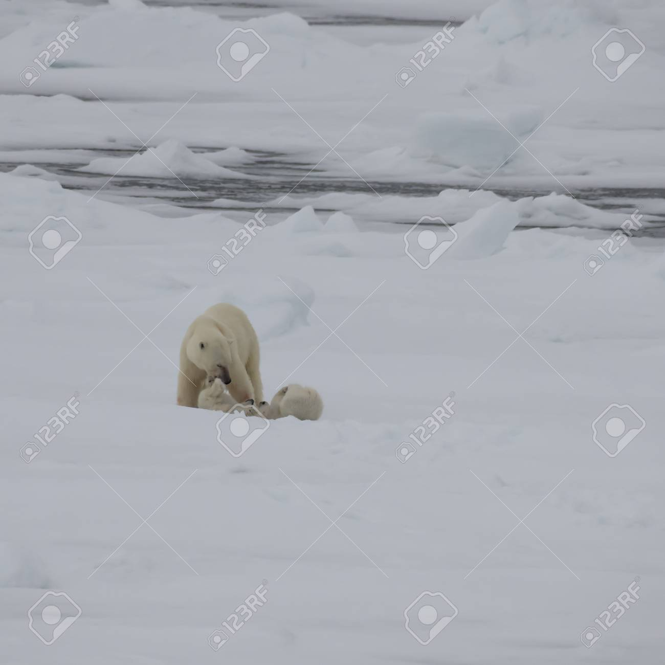 Polar bear with two cubs walking in an arctic landscape. - 121118003