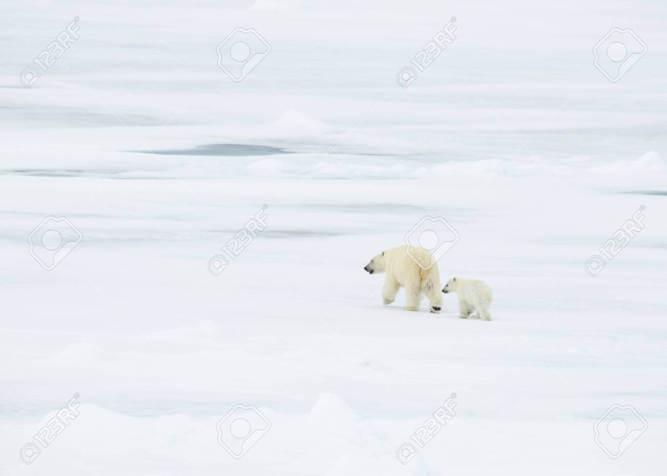 Polar bear with cub walking in an arctic landscape. - 121118008
