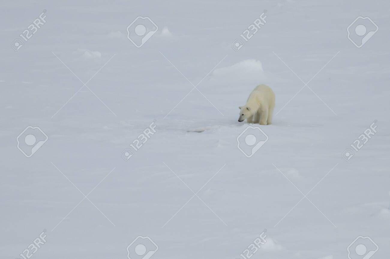 Polar bear walking on the ice in arctic landscape sniffing around. - 121118011