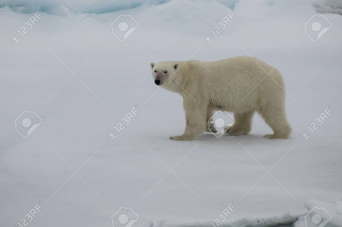 Polar bear walking on the ice in arctic landscape sniffing around. - 121118012