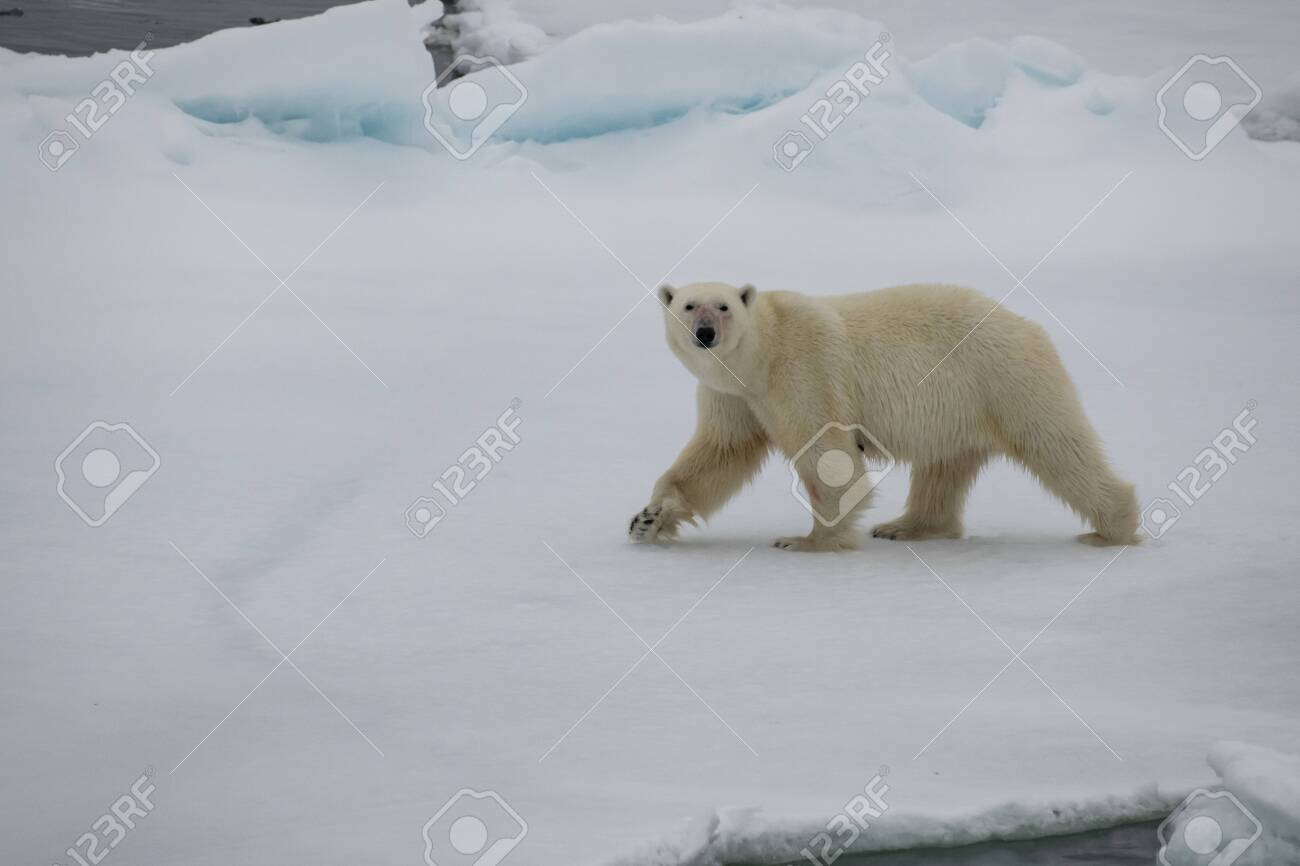 Polar bear walking on the ice in arctic landscape sniffing around. - 121118014