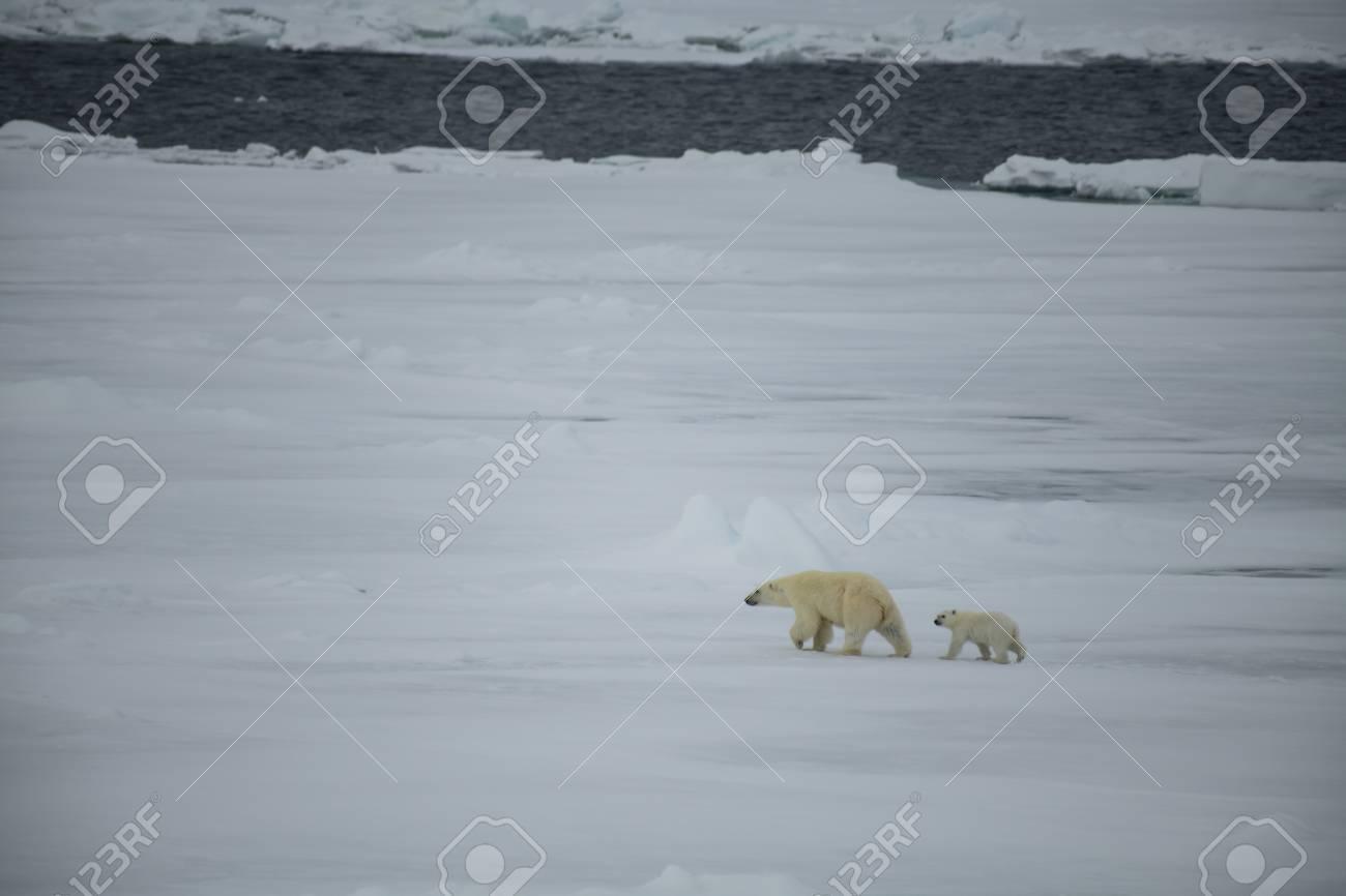 Polar bear with cub walking in an arctic landscape. - 121118016