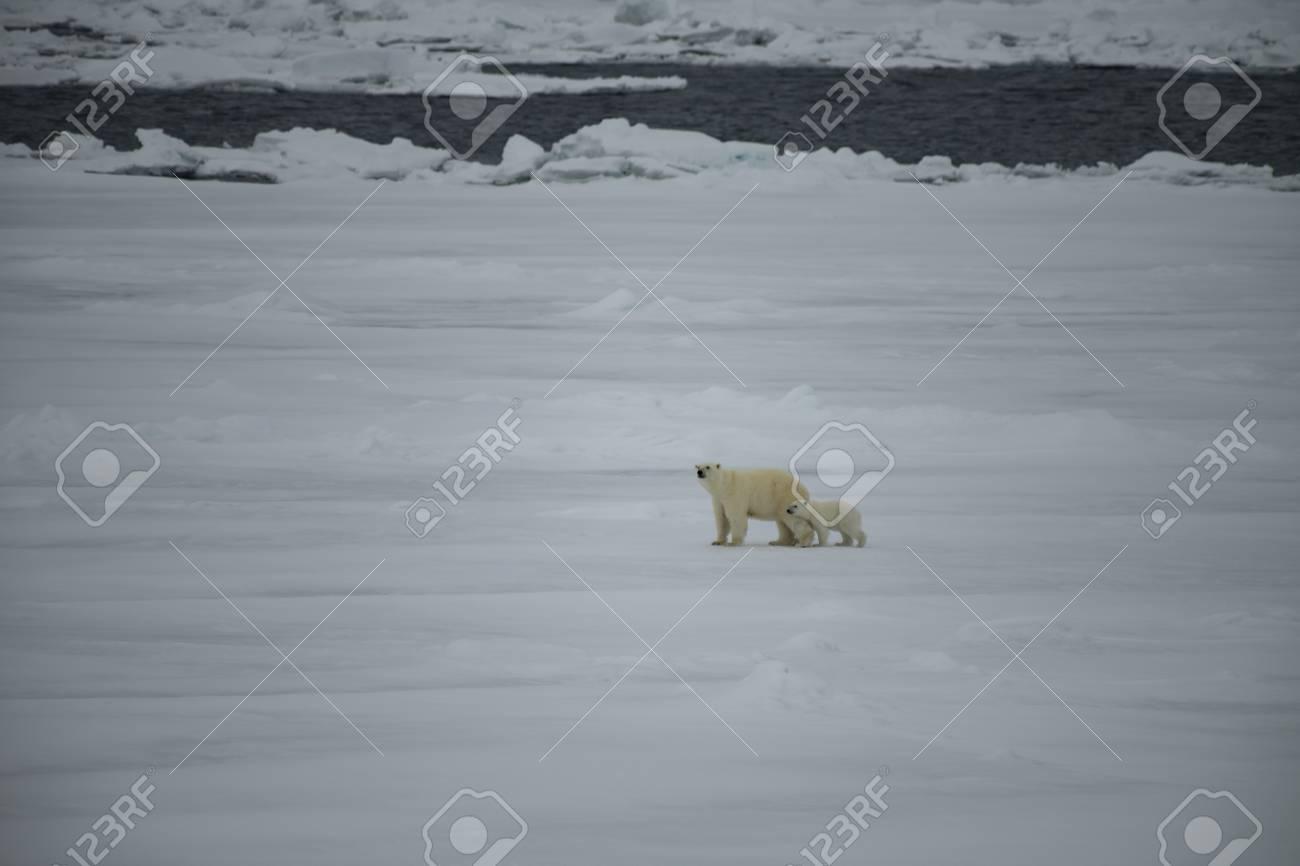 Polar bear with cub walking in an arctic landscape. - 121118017