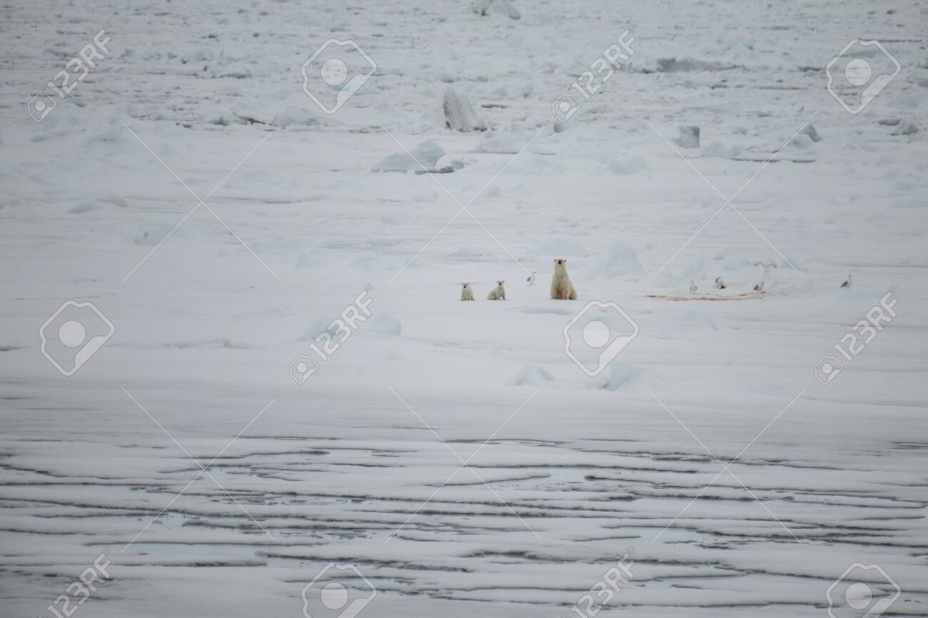 Polar bear with two cubs walking in an arctic landscape. - 121118019