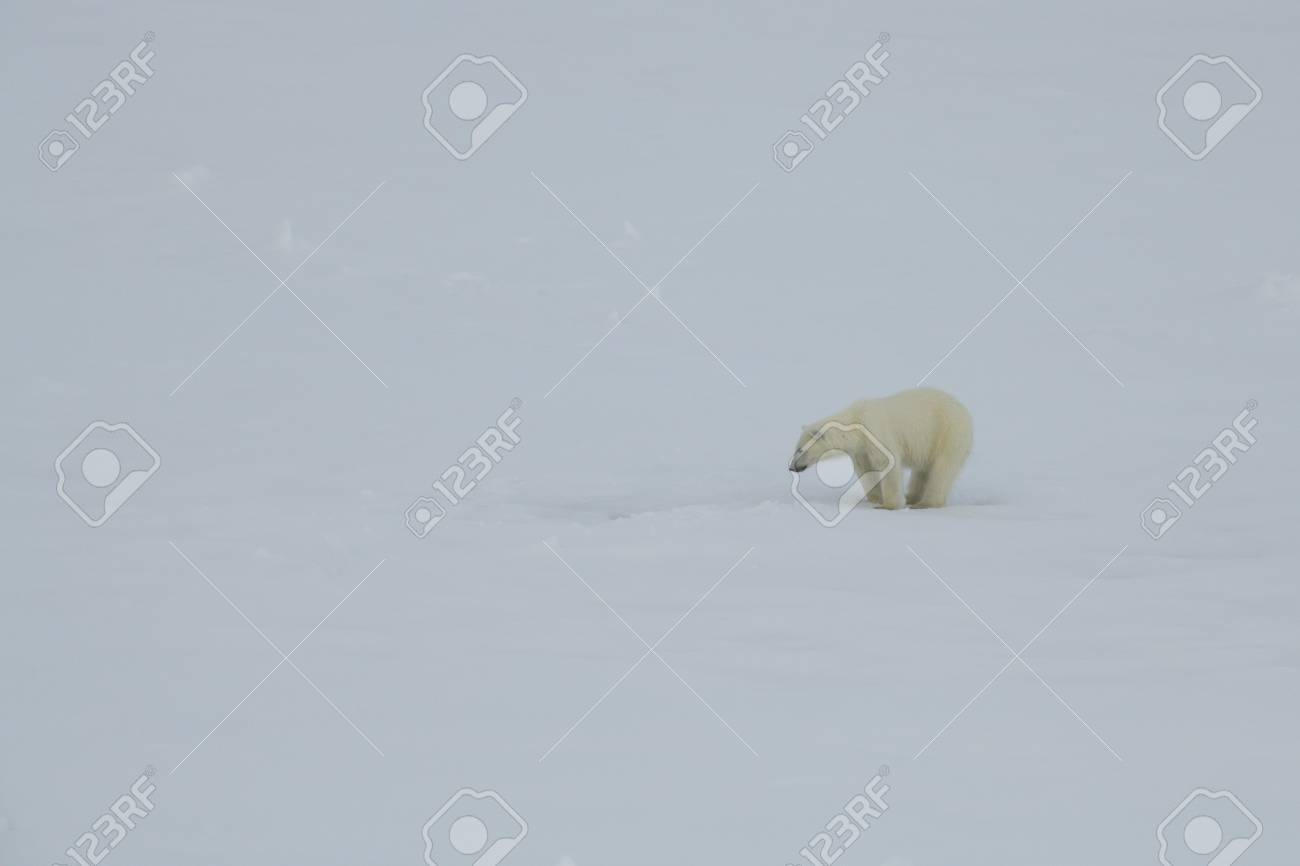 Polar bear walking on the ice in arctic landscape sniffing around. - 121118020