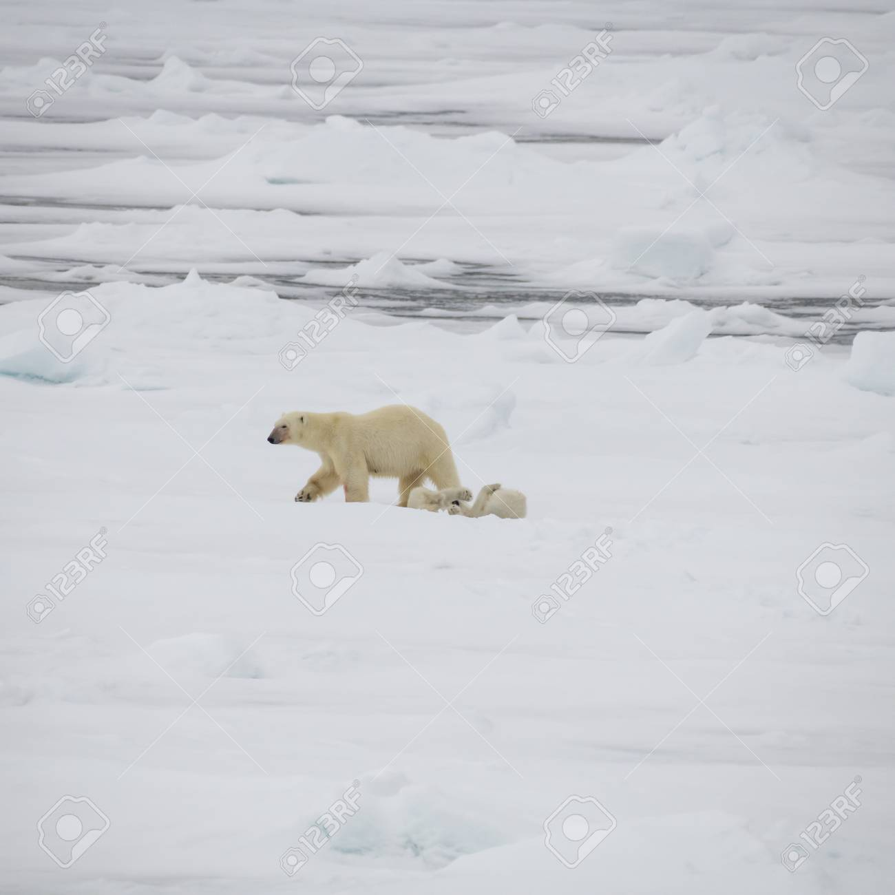 Polar bear with two cubs walking in an arctic landscape. - 121118021