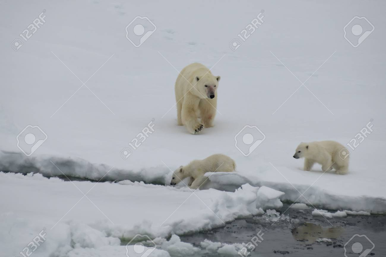 Polar bear with two cubs walking in an arctic landscape. - 121118023