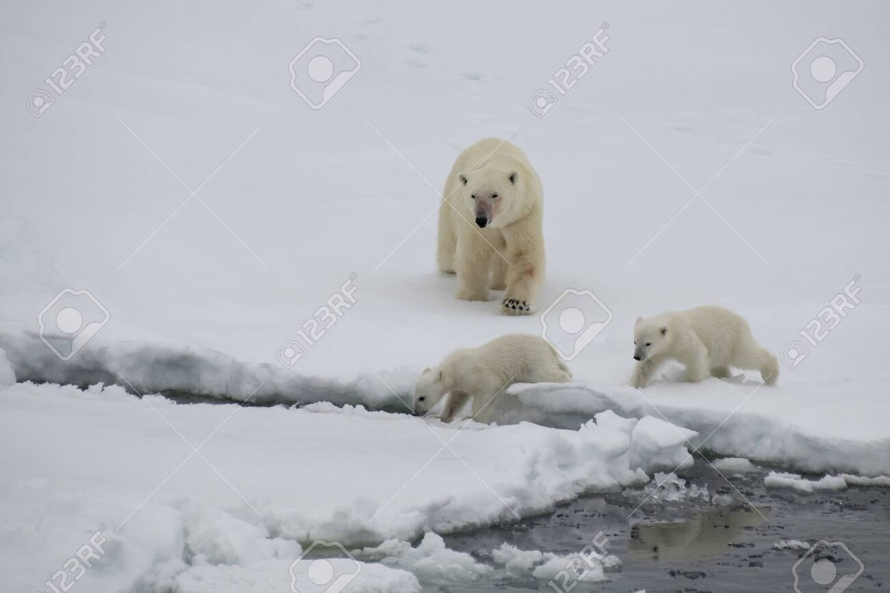 Polar bear with two cubs walking in an arctic landscape. - 121118024