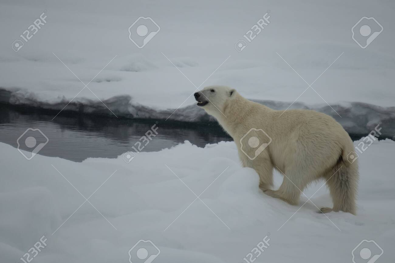 Polar bear walking on the ice in arctic landscape sniffing around. - 121118026