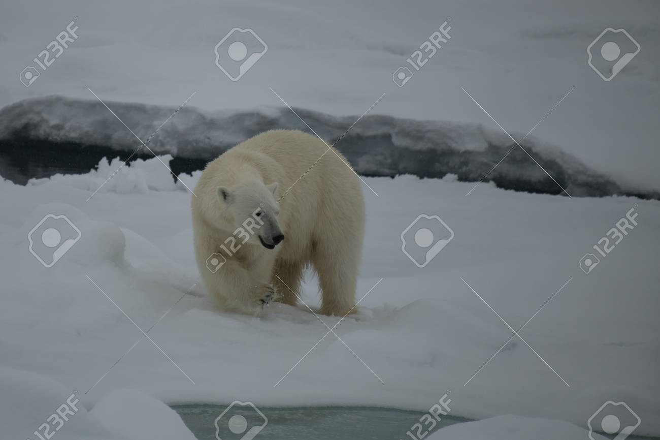 Polar bear walking on the ice in arctic landscape sniffing around. - 121118046