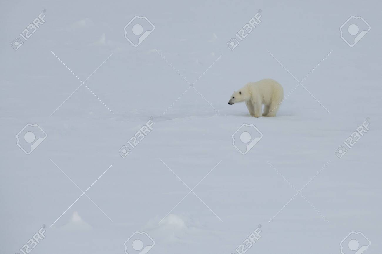 Polar bear walking on the ice in arctic landscape sniffing around. - 121118048