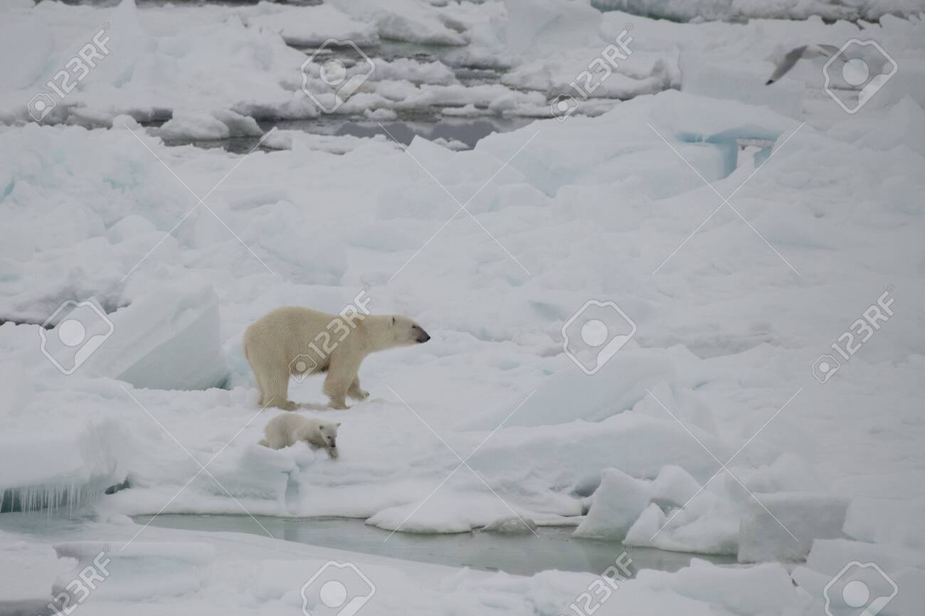 Polar bear walking on the ice in arctic landscape sniffing around. - 121118054