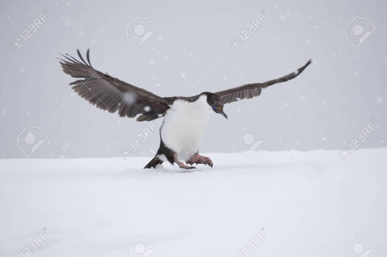 Antarctic Shag on the ice - 144215659